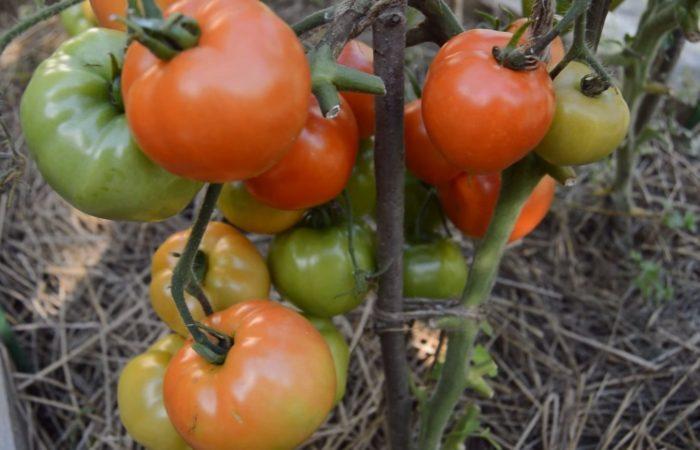 Недоспевшие помидоры на ветках