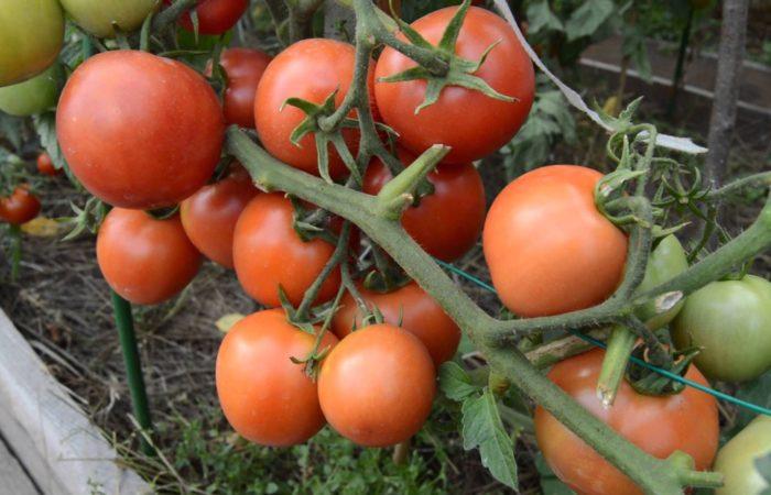 Созревающие томаты сорта Взрыв