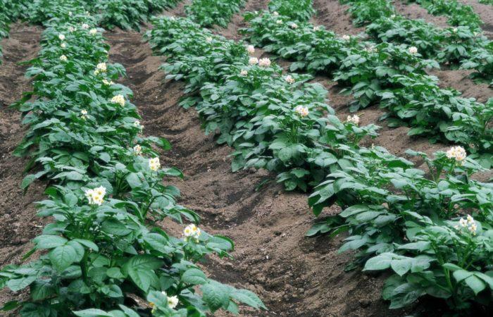 Цветущие грядки картофеля