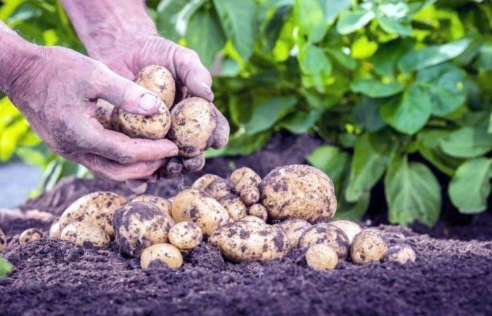 Отбор картофеля