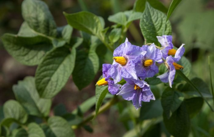 Сиреневые цветки картофеля