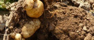 Картофельные клубни в земле