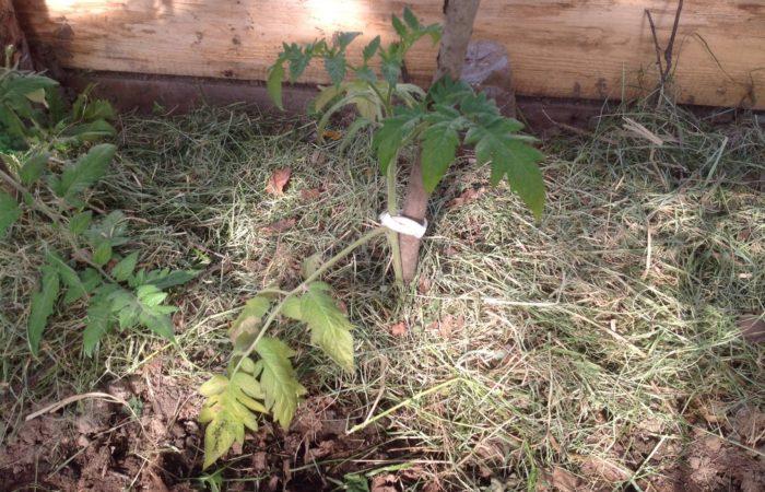 Подвязанная рассада томатов