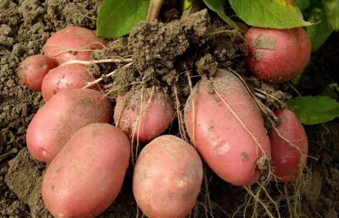 Собранный с грядки картофель розовый