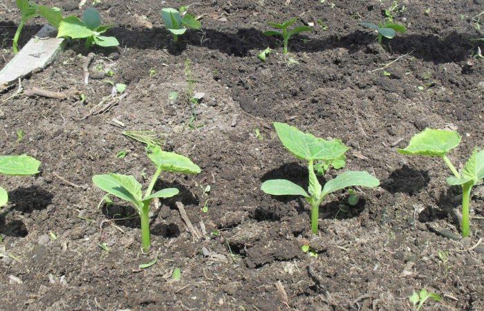 Рассада томатов в почве