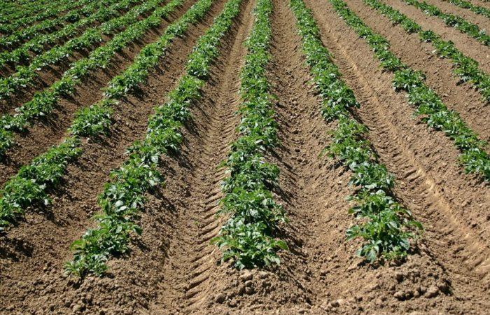 Ровные грядки картофеля