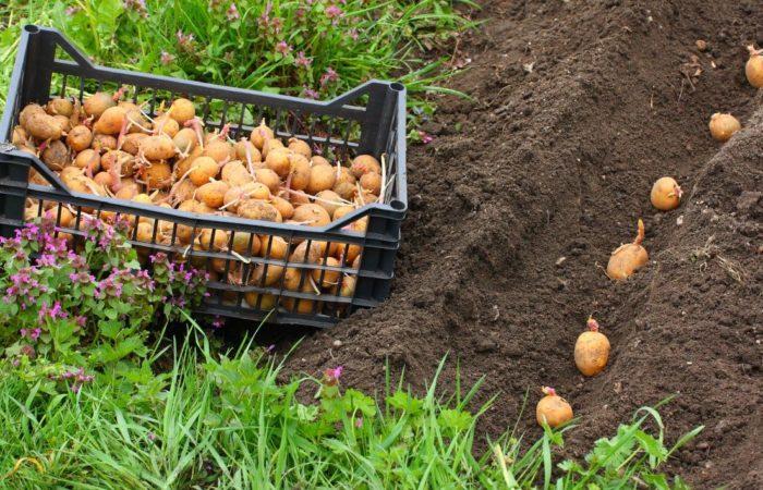 Клубни картофеля в земле