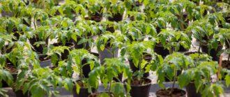 Рассада томатов в горшках