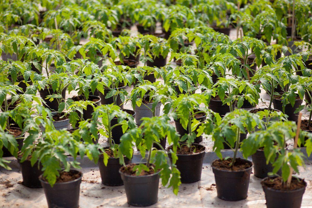 Правила пикировки рассады томатов