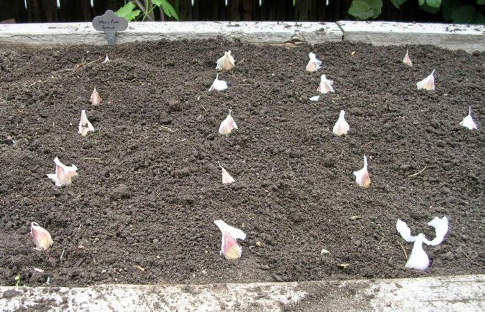 Посадка зубчиков чеснока в почву