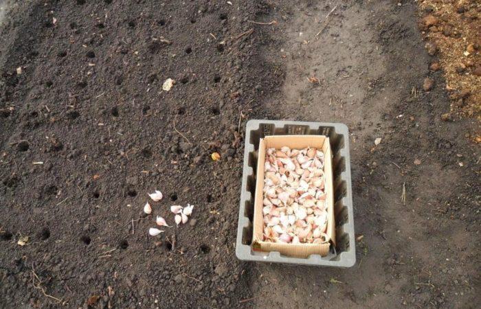Почва и чеснок для посадки