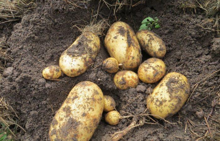 Несколько картофелин в земле