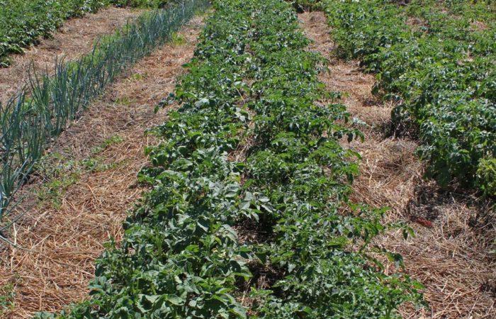 Грядки картофеля с соломой