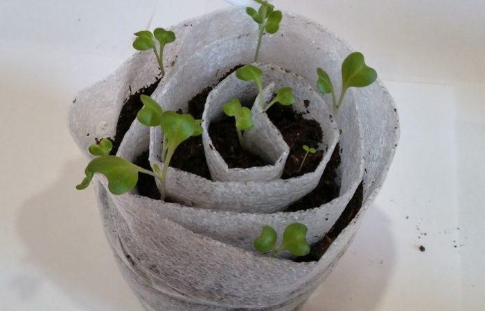 Одна улитка с ростками