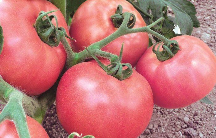 Несколько розовых томатов