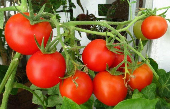 Красные спелые помидоры на ветке