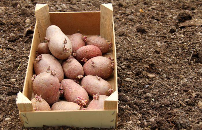 Проращенные клубни картофеля в ящике