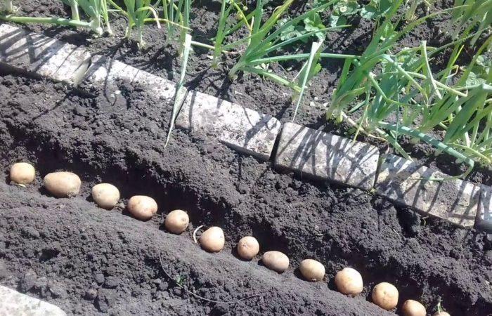 Посадка картофельных клубней в почву