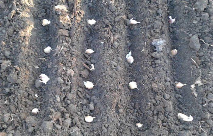 Посев чеснока в почву