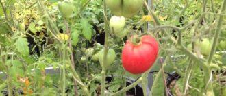 Растущие в ведрах зеленые и красные помидоры