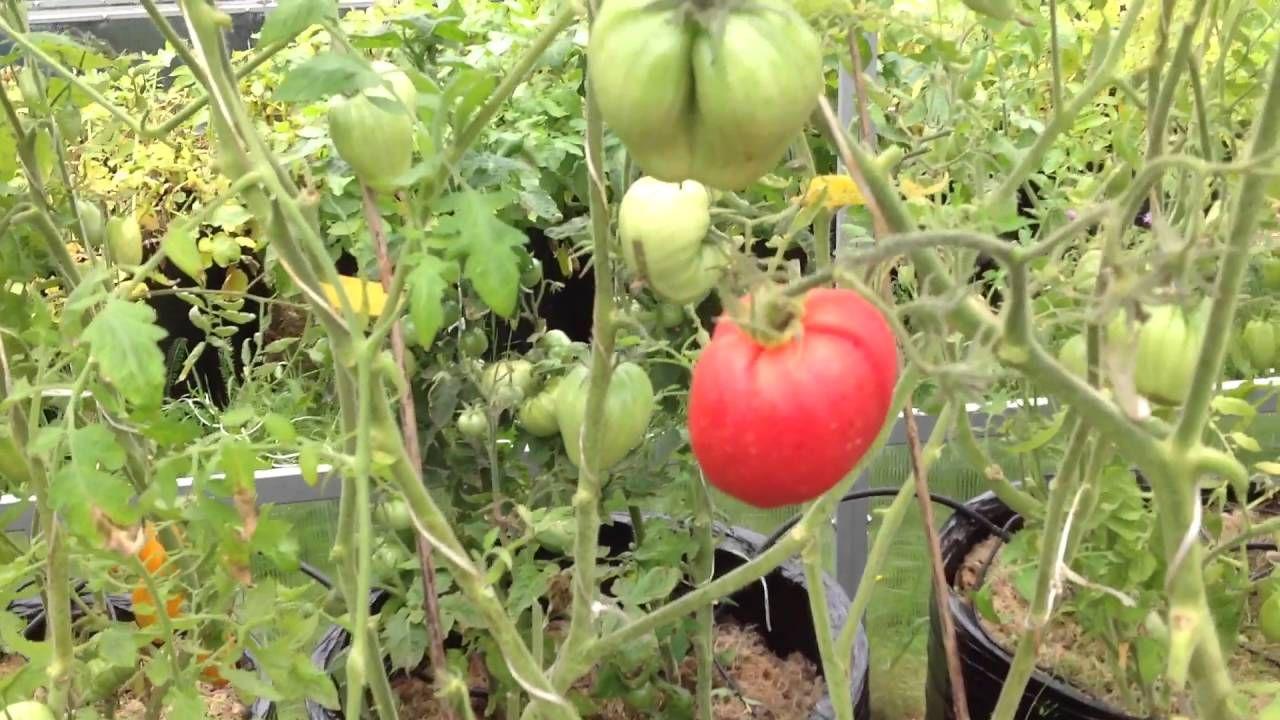 Выращивание помидор в ведрах по методу Кизимы и под укрывным материалом