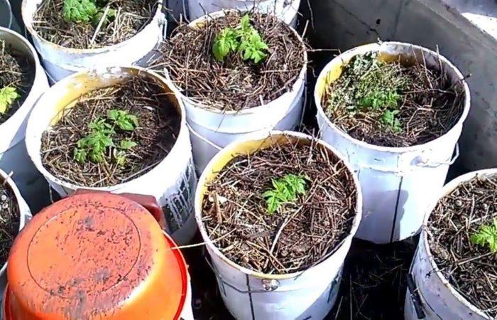 Рассада помидоров в пластиковых ведрах