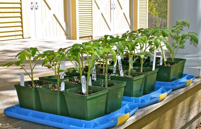 Рассада томатов в зеленых горшках