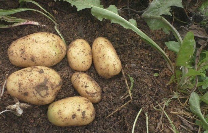Несколько картофелин на земле