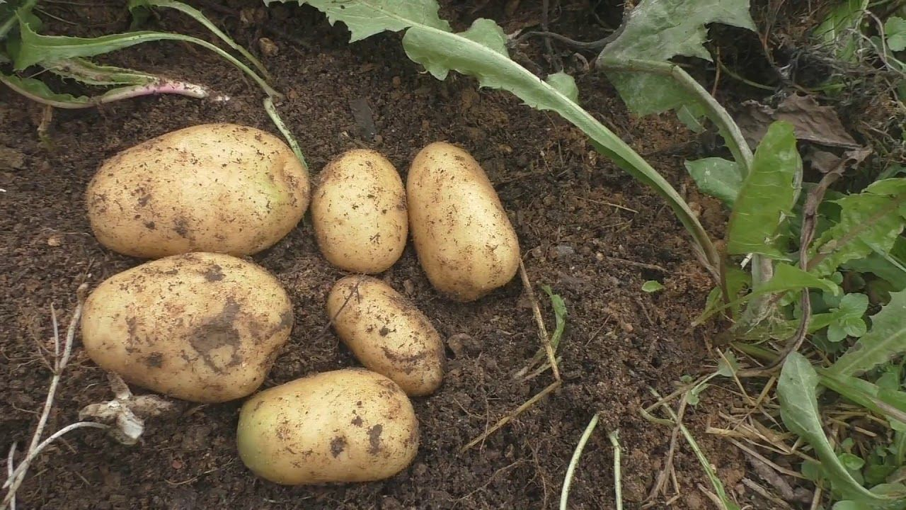 Как закопать картошку на зиму в землю