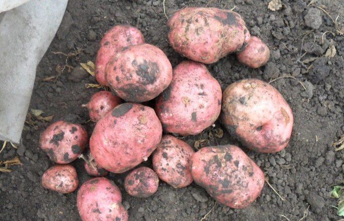 Розовый картофеля на земле