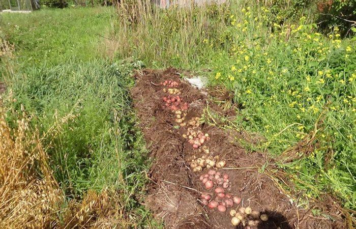 Клубни картофеля сеятся в почву