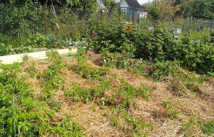 Картофель растет под сухой травой