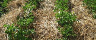 Картофельные кусты растут из-под соломы