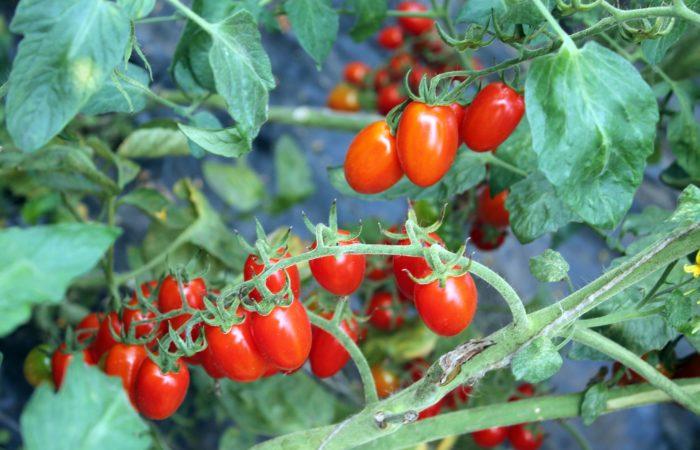 Зараженные грибком ветки томатов