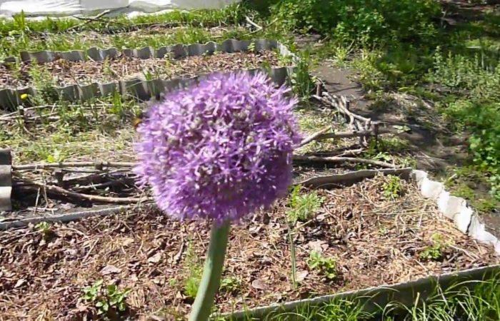 Цветущий чеснок