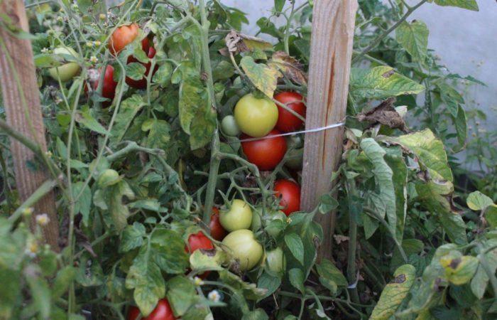 Куст томата пораженный фитофторозом