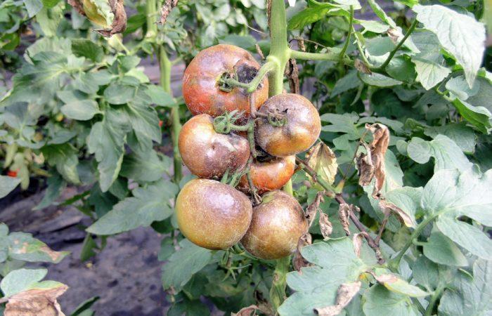 Гнилиые томаты на ветке