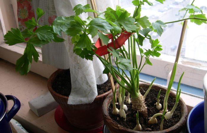Чеснок растущий на подоконнике вместе с петрушкой