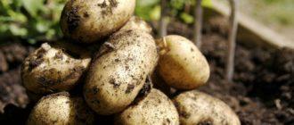 Несколько клубней картофеля