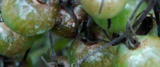 Заболевание фитофтора помидоров