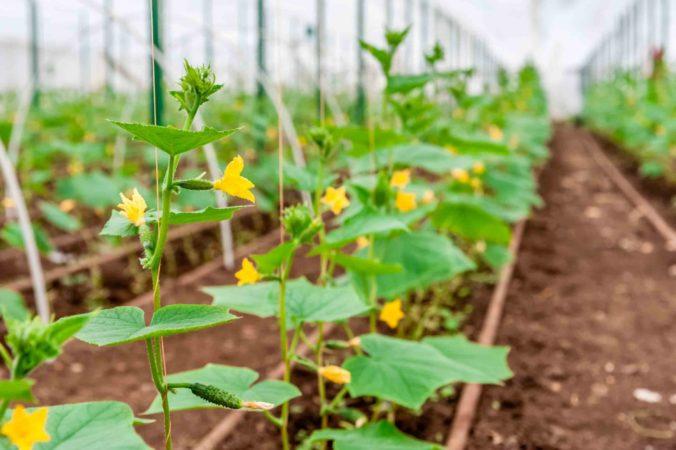 Чем и как подкармливать огурцы в теплице, чтобы они хорошо росли и плодоносили — лучшие удобрения и народные средства