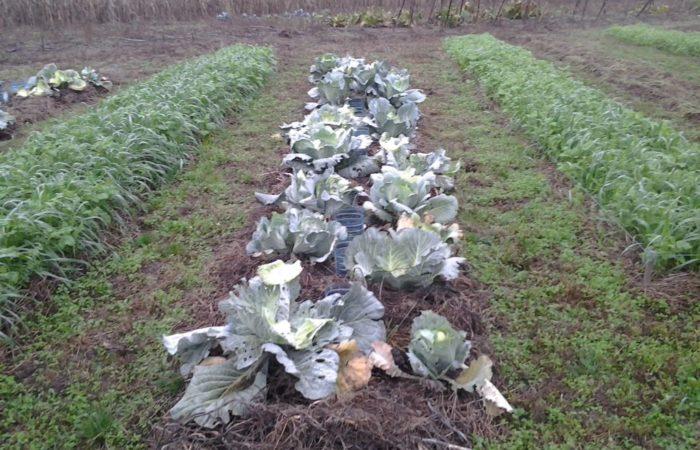 Капуста и картофель посажены радом