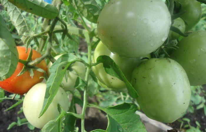 Зеленые помидоры Король ранних