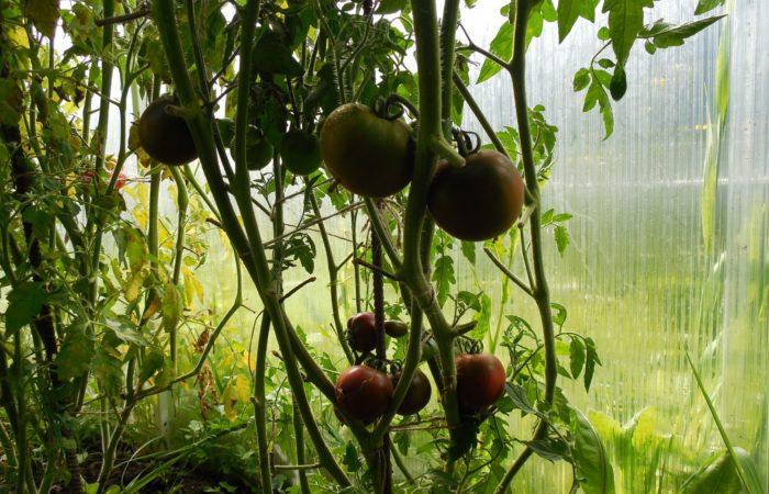 Растущие черные помидоры в теплице