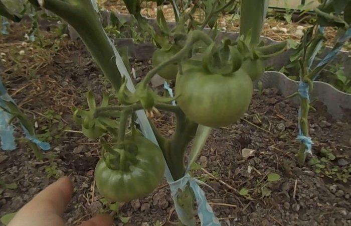 Два стебля томатов подвязаны