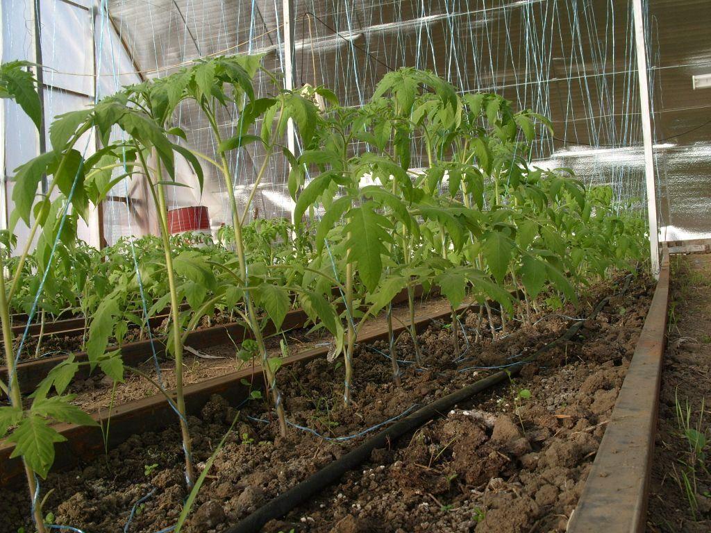 Как формировать томаты в один два и три стебля в теплице и открытом грунте