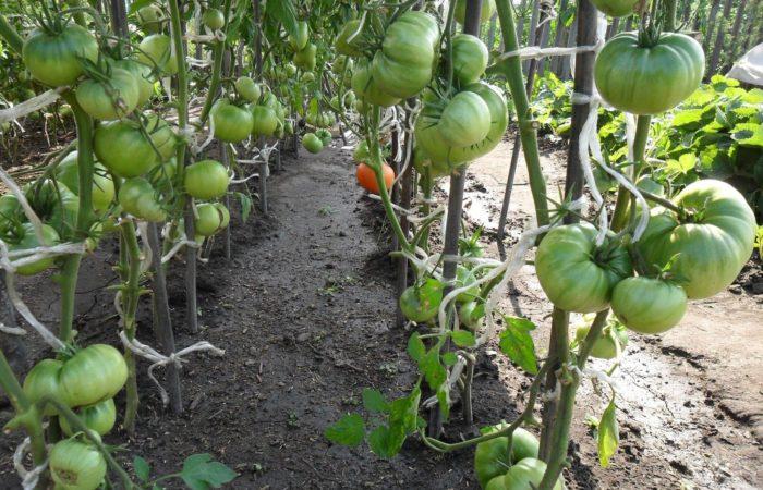 Зеленые помидоры с подвязанными стеблями