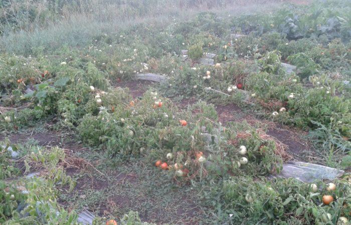 Грядки томатов в открытом грунте