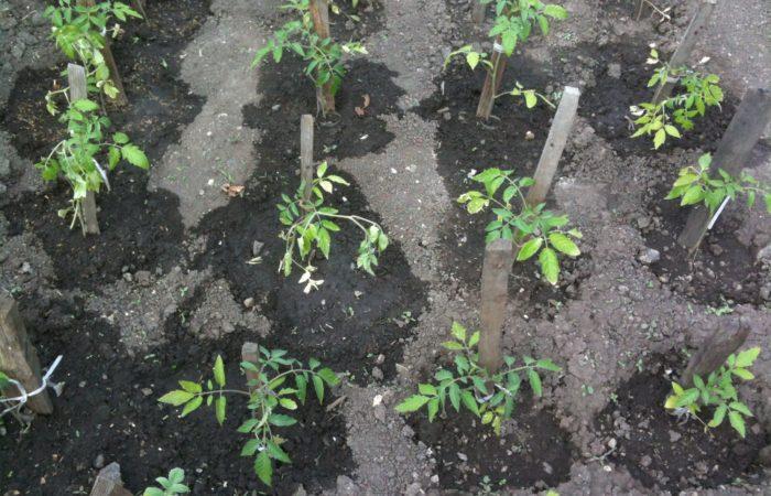 Проращенные семена огурцов