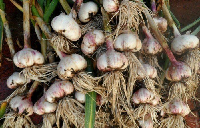 Собранный урожай чеснока